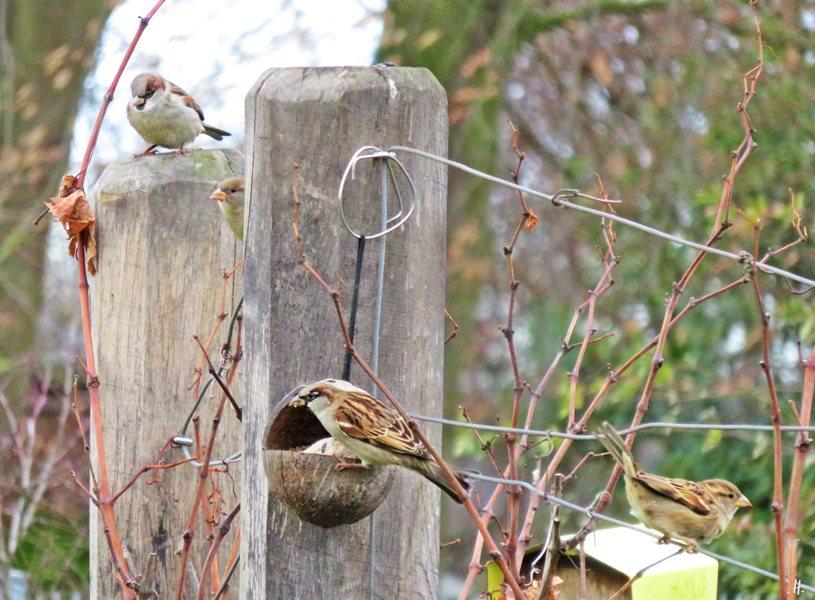 2018-12-11 LüchowSss Garten Sperlinge (2) vier Haussperlinge (Passer domesticus)
